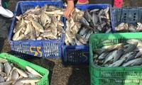Binh Thuan: Guter Fischfang aufs Meer zum Neujahr