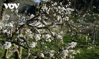Im Frühling: Hügel von weißen Pflaumenblüten bedeckt