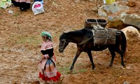 Pferde im Alltagsleben der Vietnamesen im Hochland