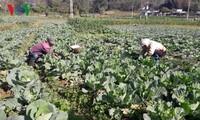 Dank der Intensivlandwirtschaftszonen finden Bauern in Lai Chau den Weg aus der Armut