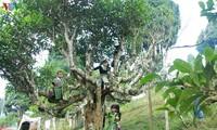 Kulturtourismuswoche von Muong Lo (Yen Bai): Fest zum Ehren des Teebaums