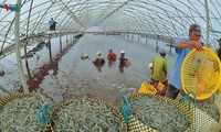 Mekong-Delta fördert Garnelen-Export
