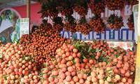 Provinsi Bac Giang memperhebat promosi dagang untuk memasarkan buah leci