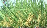 Singapura merupakan pasar ekspor beras potensial bagi Vietnam
