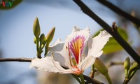 Bunga Ban – bunga melambangkan  gunung dan hutan di daerah Tay Bac