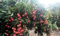 Provinsi Bac Giang siap mengekspor leci segar ke Jepang