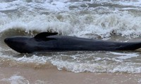 300kg whale washes up on Phu Yen's beach