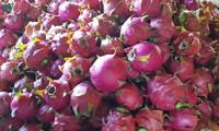 Уезд Тхуантяу провинции Шонла отправил в Россию 10 тонн питахайи с красной мякостью