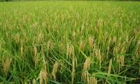 Việt Nam và IRRI hợp tác nghiên cứu phát triển ngành lúa gạo
