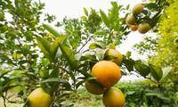 Cam Vinh Kỳ Yến, hành trình xây dựng thương hiệu nông sản địa phương