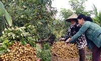 Kaum tani propinsi Dong Thap mencapai kemakmuran dari hasil pertanian yang organik