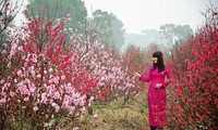 Hobi menikmati pohon bunga Mei pada Hari Raya Tet dari orang Vietnam