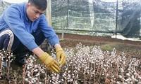Para petani provinsi Kon Tum turun ke sawah untuk menanam  pohon herbal