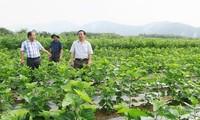Kaum tani mendapat pendapatan tinggi karena menanam pohon murbei dan budidaya ulat sutra