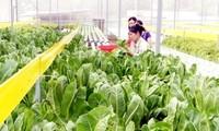 Pola pertanian bersih yang paling besar di Propinsi Yen Bai.