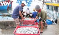 Quang Tri fishermen enjoy bumper catch of anchovy