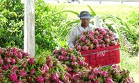 Binh Thuan dragon fruit obtains protection certificate in Japan
