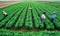 同塔省新义乡转换种植结构   新农村建设取得好效益