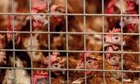 世界卫生组织称H5N8型禽流感病毒可传播给人