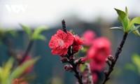 Редкий вид персиковых цветов «Тхат тхон»