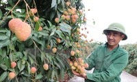 Hai Duong province expands lychee growing zones