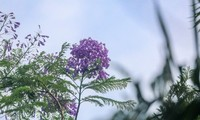 Hanoi capital dotted with Da Lat purple flamboyant flowers