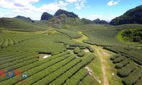 Đồi chè xanh ngát ở Mộc Châu qua góc nhìn flycam
