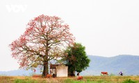 Bombax ceiba in full bloom across Bac Giang province