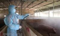 Việt Nam đủ năng lực nghiên cứu, sản xuất vaccine dịch tả lợn Châu Phi