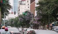 """Hoa bằng lăng khoe sắc """"nhuộm tím"""" đường phố Hà Nội"""