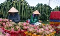 Vietnam proyecta estabilizar exportación de frutas del Dragón
