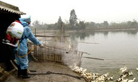 Vietnam se prepara para enfrentar posible brote de H7N9