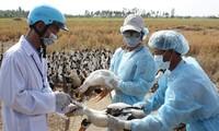 Vietnam se mantiene libre de amenaza de la gripe aviar H7N9