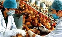 Organización Mundial de Salud previene sobre gripe aviar