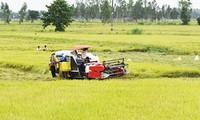 """Campos de colaboración"", avanzado modelo de producción de arroz en Dong Thap"
