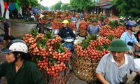 Una nueva cosecha de lichis de Luc Ngan