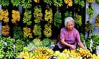 Modelo del cultivo de banano en Son La ayuda a la población a salir de la pobreza