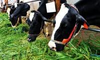 Campesinos de Cu Chi, Ciudad Ho Chi Minh prosperan gracias a la ganadería lechera