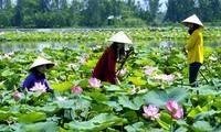 Reestructuración agrícola en Dong Thap