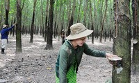 Cultivo del caucho en Yen Bai