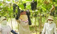 Cultivo de uvas en Ninh Thuan para el desarrollo sostenible