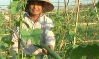 Eficiencia del modelo de alianza entre agricultores y empresas en Quang Nam