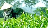 Inaugurado Festival del té de Dai Tu en la provincia de Thai Nguyen