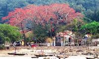 Algodonero rojo, princesa de las flores de ciudad portuaria de Hai Phong