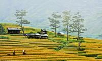 Comunidad étnica Mong se esfuerza por aumentar cosechas de arroz en terrazas