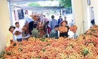 Más de una tonelada de lichis vietnamitas exportada a Estados Unidos