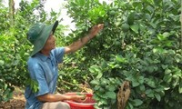 Limas vietnamitas irán al mercado de Sudcorea