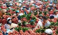 Provincia de Bac Giang promociona su famosa marca de lichi