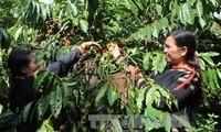 Altiplanicie Occidental vietnamita se concentra en desarrollo socioeconómico