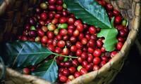Dak Lak avanza hacia el cultivo sostenible de café